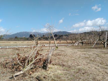 台風23号と市田柿