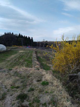 市田柿畑で枝広い
